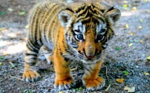 fonds-ecran-tigre-1