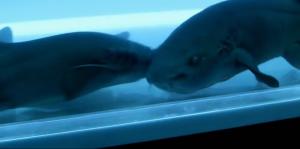 Le gangster qui fait de la drogue nourri des requins...